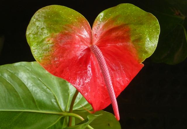 Anthurium ant rio verde com vermelho flor grande vr 1 for Plantas de interior anturio