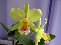 Orquidea OCS296 - Adulta