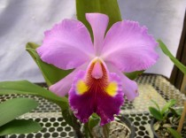Orquidea Blc. Norman's Bay Lucile - 388 - Adulta
