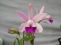 Orquidea C. Int. Orlata Blumenau - 368 - Adulta