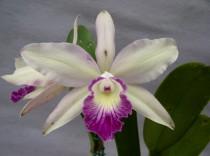 Orquidea L.P.Semi Alba Tardia x C. Nobilor  299 - Adulta