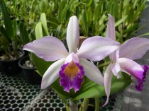 Orquidea Laeliocattleya Cracicata - 4 anos - 628