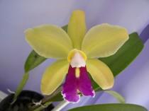 Orquidea - Adulta- OPM 87
