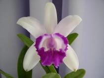 Orquidea - Adulta - OPM 250