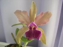 Orquidea - Adulta - 1297