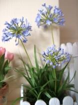 Agapanthus Mini Azul