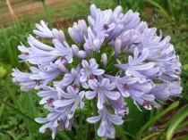 Agapanthus / Agapantus Azul