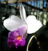 Orquidea Arundina Semi-Alba