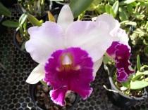 Orquidea Brassolaeliocattleya Michel - Adulta - 596