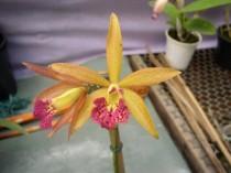 Orquidea Laeliocattleya Penny Spots - adulta - 814