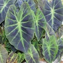 Caladium Illustris