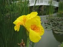 Canna Indica Amarela