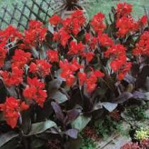 Canna Indica Vermelha Purpurea