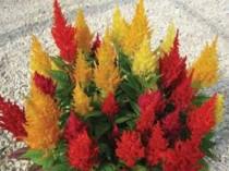 Celosia Mix - Crista de galo - 50 sementes