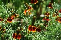 Chapéu Mexicano - 30 sementes
