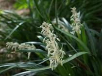 Ophiopogon Verde - 10 uni.