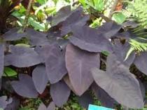 Colocasia Aquatilis