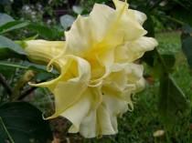 Datura Golden Queen - 6 sementes