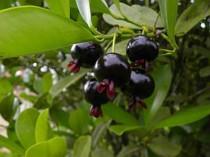 Grumixama - 5 sementes