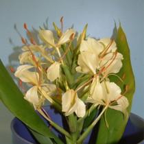 Hedychium amarelo - 3 unid