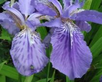 Iris Chinesa - 1 MUDA