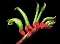 Kangaroo Paw Tall - Anigozanthos manglessii- 10 sementes