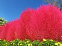 Kochia - Cipreste de Verão, Arbusto de Fogo - 30 sementes