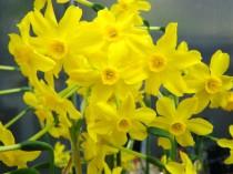 Narciso Amarelo - 3 unids