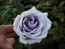 Rosa Trepadeira Azul - 15 sementes