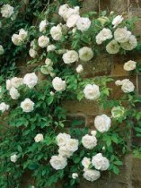 Rosa Trepadeira Branca - 15 sementes