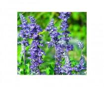Salvia farinacea Benth - Salvia Azul  - 30 sementes