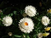 Sempre Viva Branca - 20 sementes
