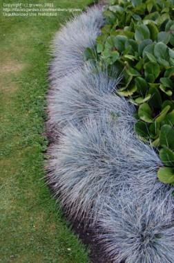 Grama Azul - 10 sementes