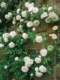 Roseiras trepadoras