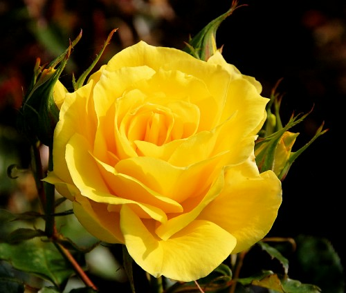 Resultado de imagem para Rosas Amarelas