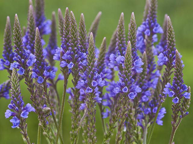 Verbena Americana Azul - 30 sementes